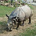 Rhinocéros indien (Rhynoceros unicornis)