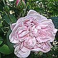 les rosiers 'centifolia' du jardin