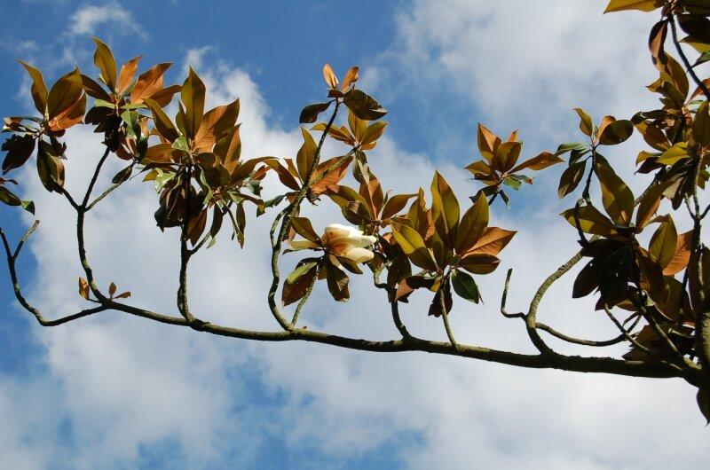 le vieux magnolia grandiflora