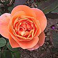 lady emma hamilton (jardin)