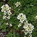 Saxifrage aquatique (Saxifragacées)