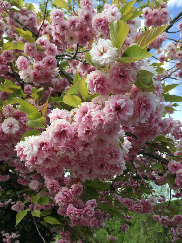Cerisier japonais (1)