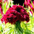 Fleur andalouse