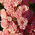 05-10-11 Avalanche de roses