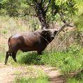 Buffle mâle, PN Boubandjida, Cameroun