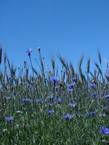 2008 06 26 Le blé et les bleuets