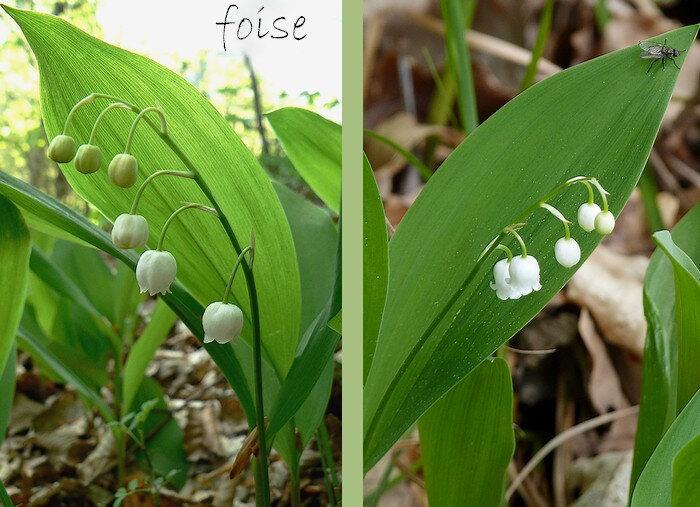 5-10 fleurs penchées en grappe unilatérale
