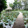 au milieu des lotus