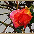 Bouton de rose orangé rescapé