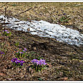 Crocus et paysages d'avril au canada vus par lea - crocus and april landscapes in canada seen by lea