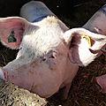 L214 sort une nouvelle vidéo de maltraitance animale dans un abattoir