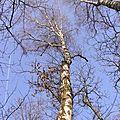 La forêt en février , le bouleau verruqueux
