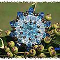 Astragale bleue