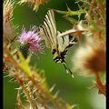 Butterfly (133)