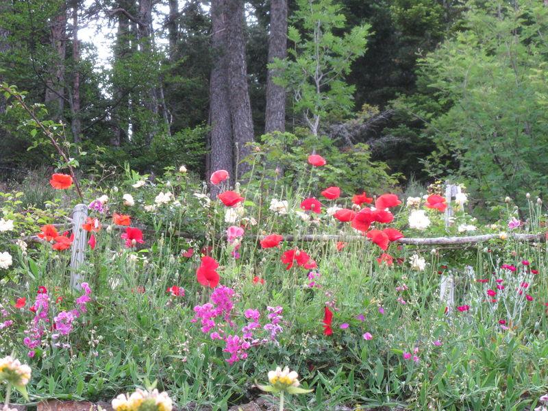 coquelicots roses et pois de senteur vivace photo de le jardin d but juillet les herbes. Black Bedroom Furniture Sets. Home Design Ideas