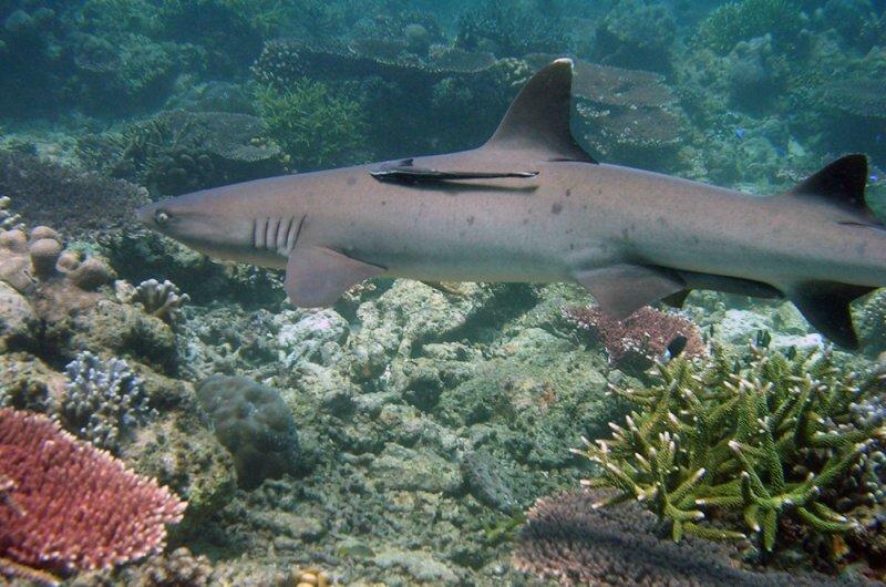 Le requin corail