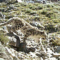 Une population importante de léopard des neiges découverte en Afghanistan