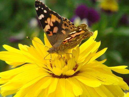 2008 09 11 Un papillon sur une fleur de soucis