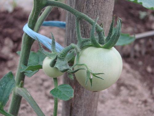 2008 05 28 Mes deux première jeune tomates de Big Stricke Hybride F1