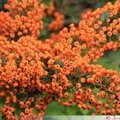 Pyracantha saphyr Orange Cadange (fruits)