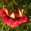 Grenadier d'ornement • Punica granatum • Punicaceae