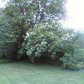nos lilas blancs en Suède