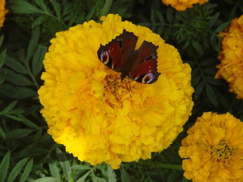 2008 09 10 Un papillon sur une fleur de rose d'Inde sunset