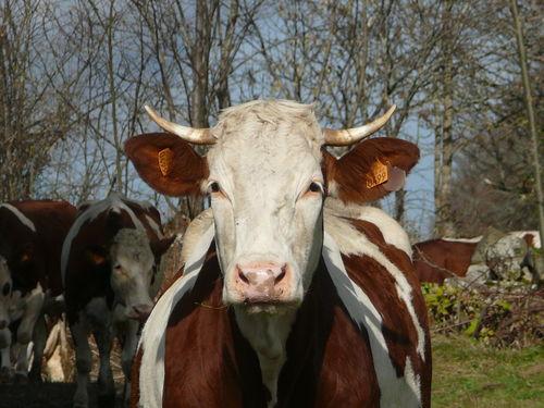 2008 11 08 Une vache