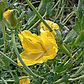Glaucienne jaune