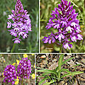 Orchis pyramidal (Orchidacées)