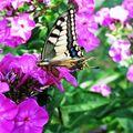 Butterfly (67)