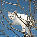 chat blanc0