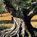 Un olivier séculaire au tronc noueux
