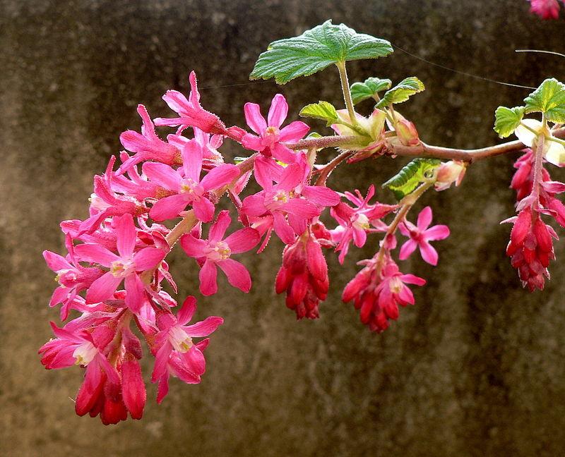 groseillier à fleurs