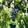 Les vins croates