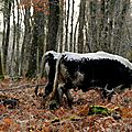 10 decembre 2014 - Colloque sur la Traction <b>Bovine</b> - Montmorillon (Vienne)