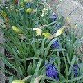 2008 03 31 Mes narcisses, tulipe et Jacinthe aprés une petite gelé