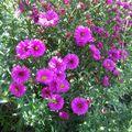 Aster hauts violets