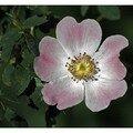 Une fleur d'églantier