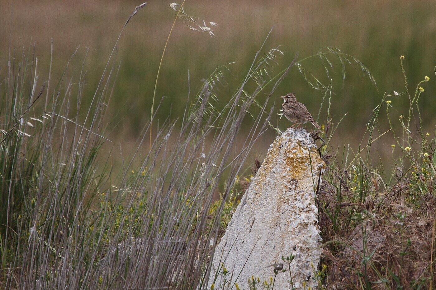 Lesbos oiseaux 01 - Cochevis huppé