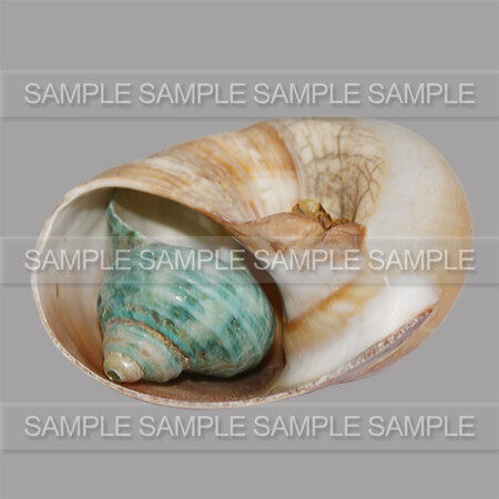 GRAPHIABELLA_SHELLS_ZOOM_03