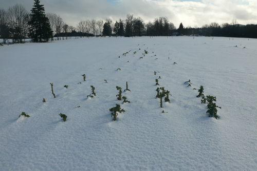 2008 12 30 Quelques choux dépasse de la neige