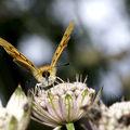 Lycaena virgaureae (cuivré alpin)