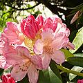 Pieris & Rhododendron