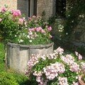 ROSES ANCIENNES : BUISSONS