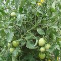 2008 07 21 Mes tomates big sricke hybride F1 sous serre