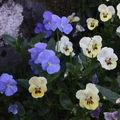 2009 06 02 Mes fleurs de pensées vivaces