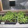 jeunes plants de tomates attendent preneur !