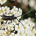 Petit <b>capricorne</b> * <b>Capricorn</b> beetle