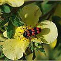 Trichode des ruches (Trichode alvearius)
